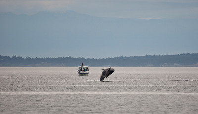 Orca breaching near boat