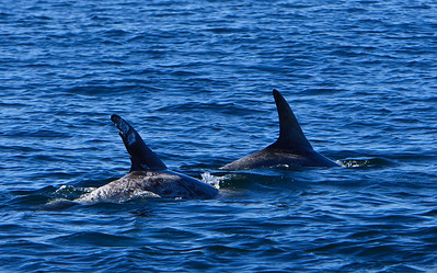 Risso's dolphins hunting for squid in Santa Barbara Channel near Anacapa Island