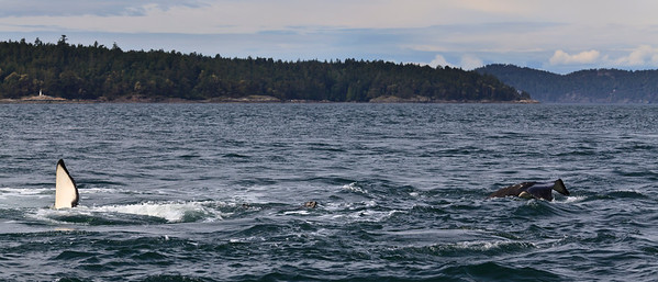 Harbor seal being pursued by Orcas
