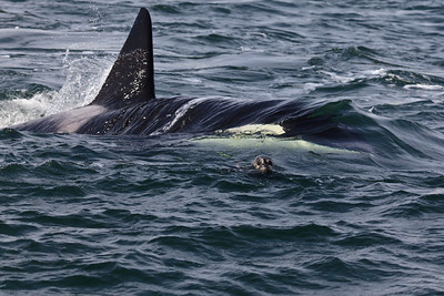 Transient Orcas, San Juan Islands, Washington