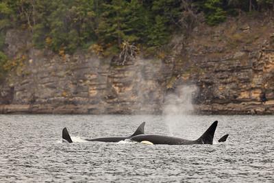 Transient Orcas hunting, San Juan Islands, Washington