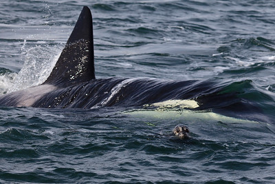 Harbor seal being pursued by Orca