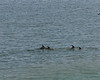 dolphins cruise the shallows of Port San Luis