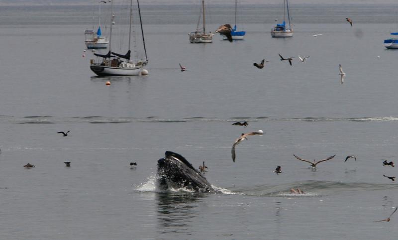 Whale charges through a bait ball.