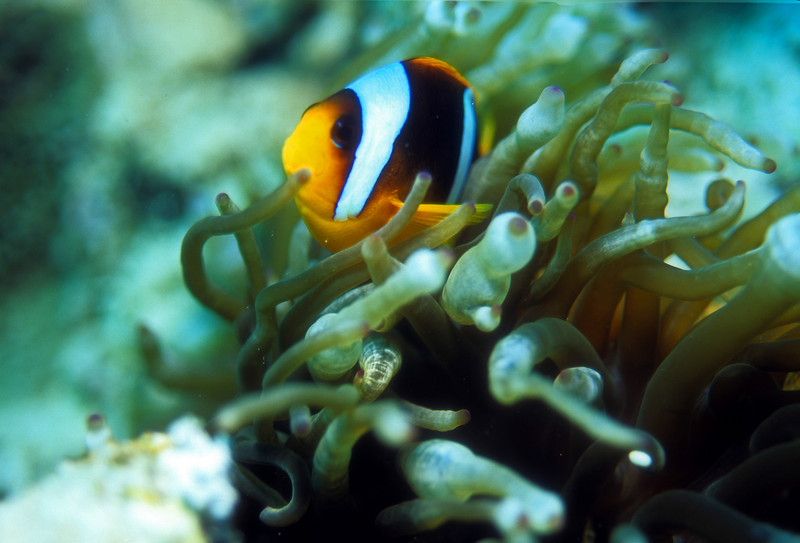 Clown Fish- Red Sea