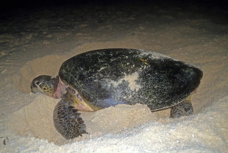 Green turtle digs nest Sipidan Island, Indonesia
