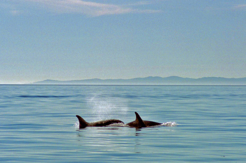 Two Orcas heading west