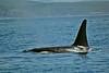Large male Orca off San Juan Island. Photo by John Seidel
