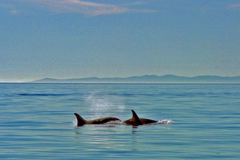 Orcas in the Haro Straits