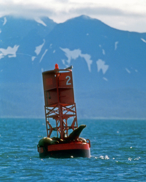 Sea Lions haul out on a channel boy in Prince William Sound Alaska.  That way the Orca's don't eat them.