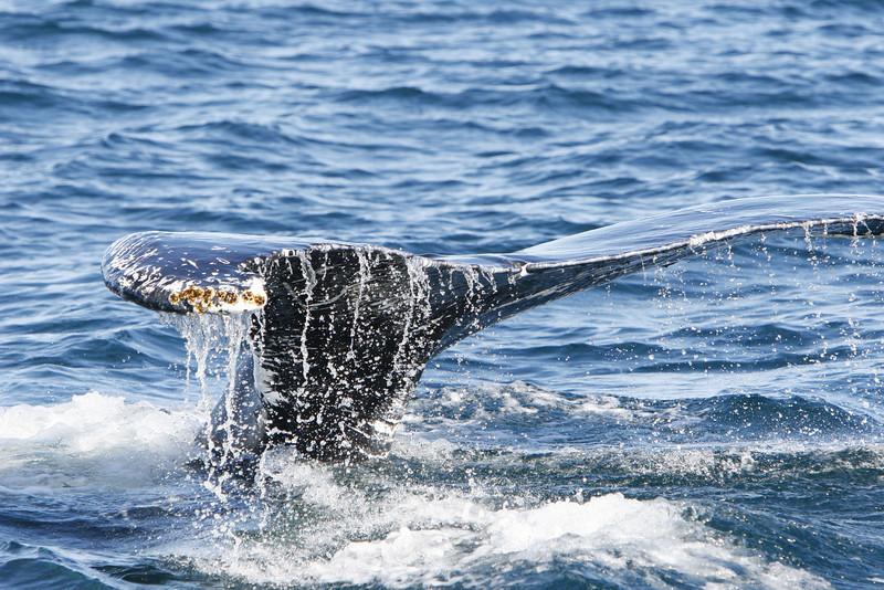 Humpback whale heading down