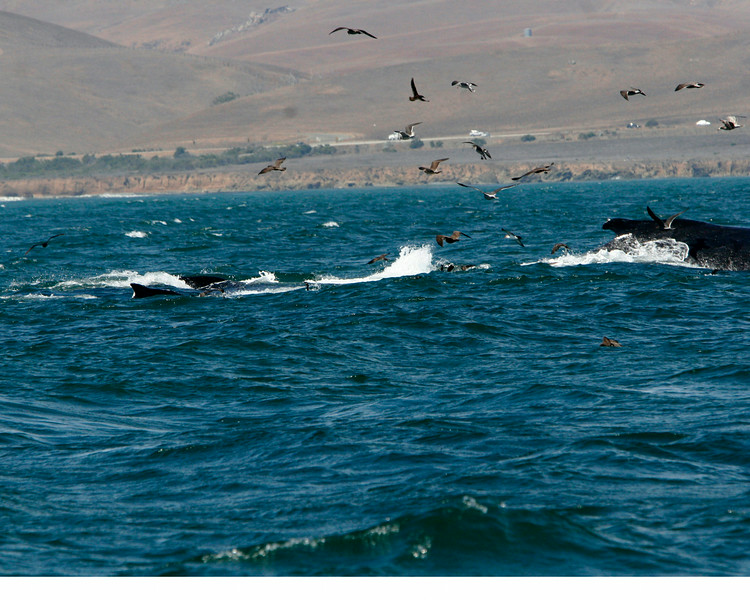 There were about 8 whales and a pod of dolphins helping out.