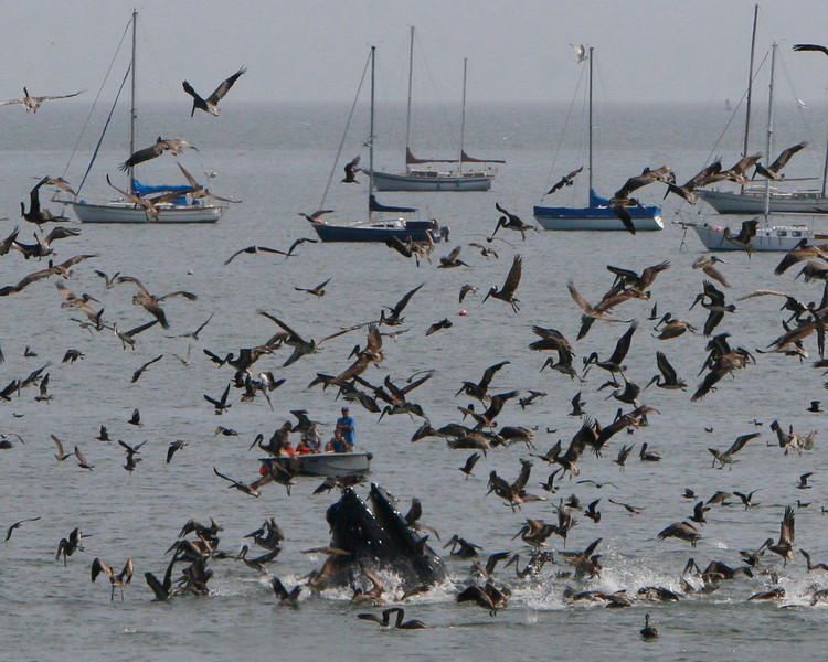 Whale breeches at hundreds of pelicans dive into the bait ball.
