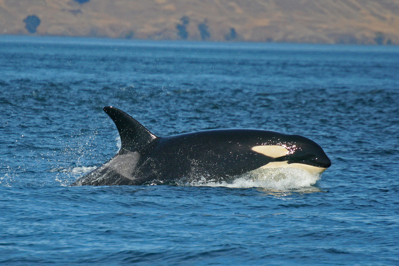 Coming Out, Orca surfacing fast. Photo by Emma Foster