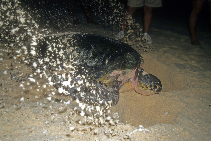 Green turtle digs a nest, Sipadan Island Indonesia