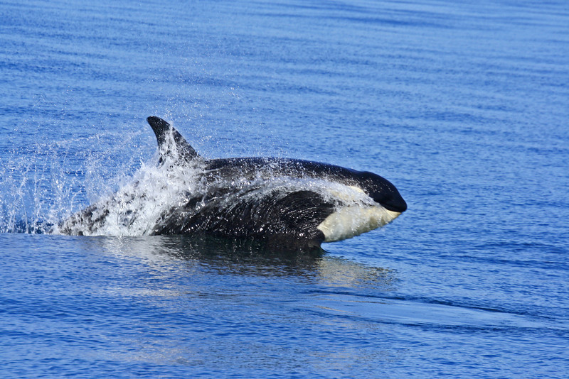 Young orca clearing the water. Photo by Emma Foster