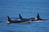 Pod of Orcas off San Juan Islands Photo by Emma Foster