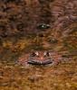 frog face, leopard frog