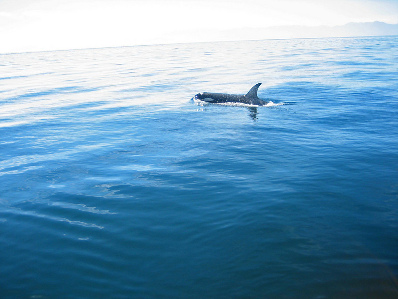 Orca in the water. By Emma Foster