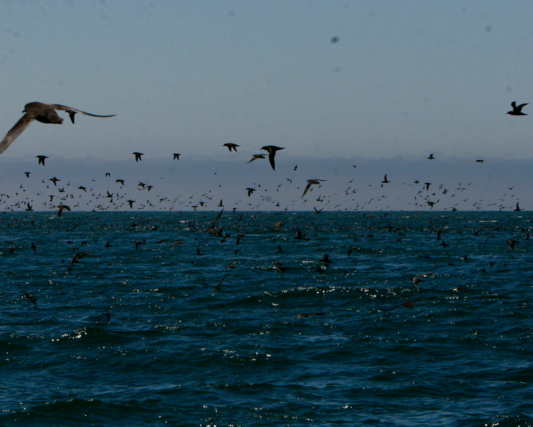 Sheerwaters feed on a huge ball of sardines.