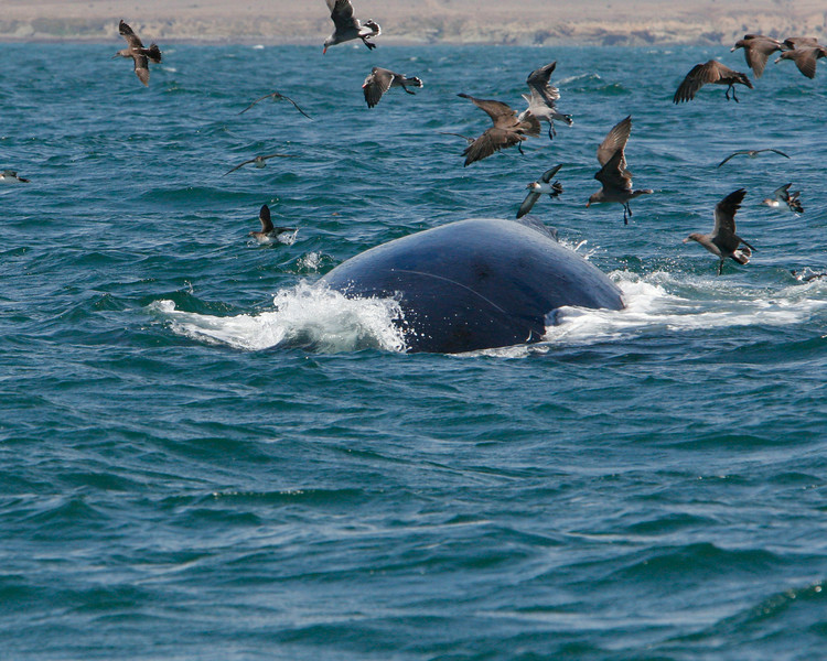 The whales leave a few injured sardines that the sheerwaters pick up.
