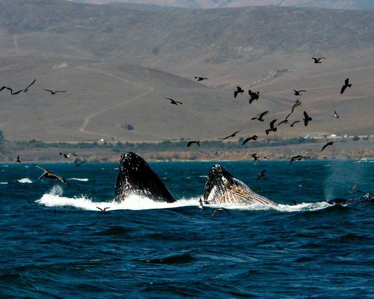 Two whales come up together to maximize the food.
