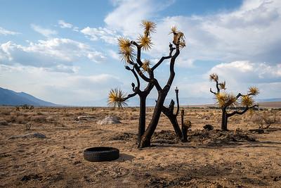 Burnt Yucca