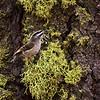 Golden-crowned Kinglet at Crane Flat, MAR