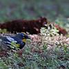 Yellow-rumped Warbler at Crane Flat, MAR