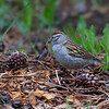 Chipping Sparrow at White Wolf, TUO