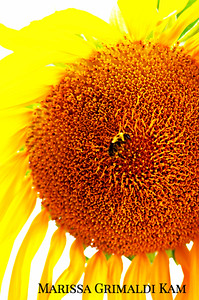 Mammoth Sunflower/ Face the Day