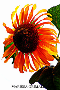 Seed to Sunflower Series