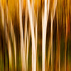 Autumn Birches I