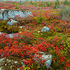 red fall blueberry plants