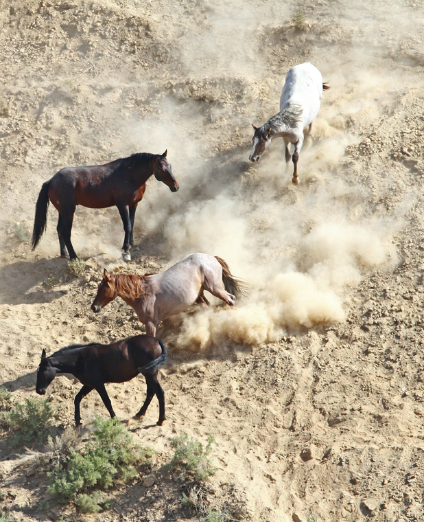 """""""...And, a cloud of dust"""" - The Wild Horses of Pilot Butte - Green River, Wyoming - Mark Rasmussen - May/June 2014"""