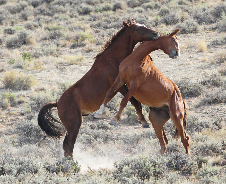 Deadly Dance - The Wild Horses of Pilot Butte - Green River, Wyoming - Mark Rasmussen - May/June 2014