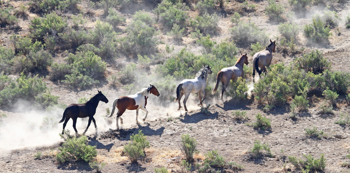 Single File - The Wild Horses of Pilot Butte - Green River, Wyoming - Mark Rasmussen - May/June 2014