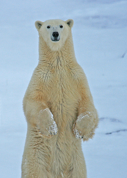 Female polar bear standing - Polar Bears & Northern Lights - Hudson Bay, Canada - Mark Rasmussen - November 2008