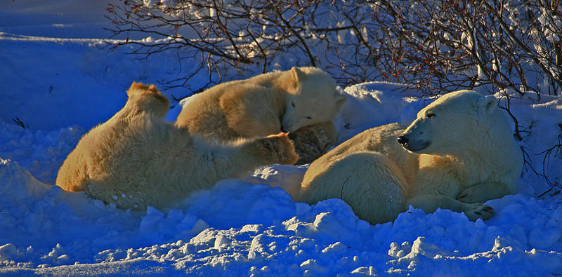 Mother polar bear with two playing cubs - Polar Bears & Northern Lights - Hudson Bay, Canada - Mark Rasmussen - November 2008