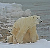 Mother polar bear and two cubs - Polar Bears & Northern Lights - Hudson Bay, Canada - Mark Rasmussen - November 2008