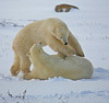 Polar Bear females diving and playing - Polar Bears & Northern Lights - Hudson Bay, Canada - Mark Rasmussen - November 2008
