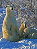 Standing mom with cubs - Polar Bears & Northern Lights - Hudson Bay, Canada - Mark Rasmussen - November 2008