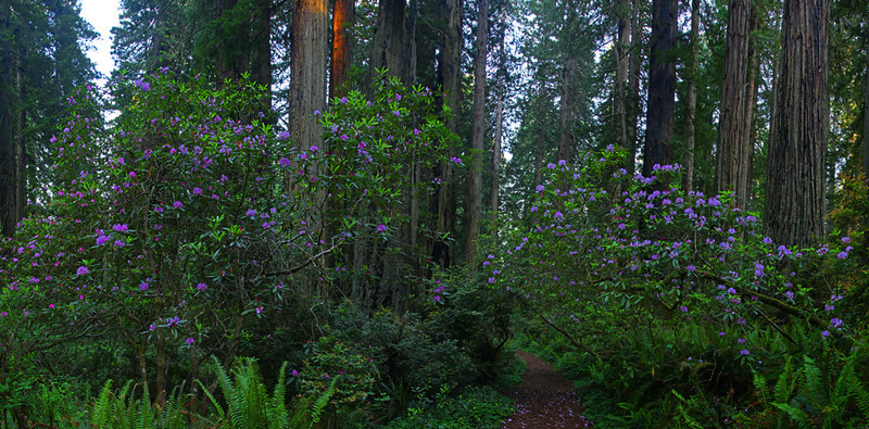Redwoods and rhododendrons - Panoramic - Jedediah Smith Redwood Preserve, California (Oregon Coast Tour)  - Mark Rasmussen - June 2011