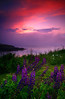 Monhegan Island lupine at sunset - Maine - Mark Rasmussen