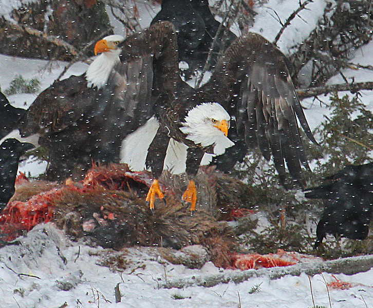 Two Bald Eagles Over an Elk Kill - Yellowstone National Park, Wyoming - Mark Rasmussen