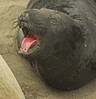 Baby Elephant Seal - Southern California Coast & Missions - Mark Rasmussen - January 2011
