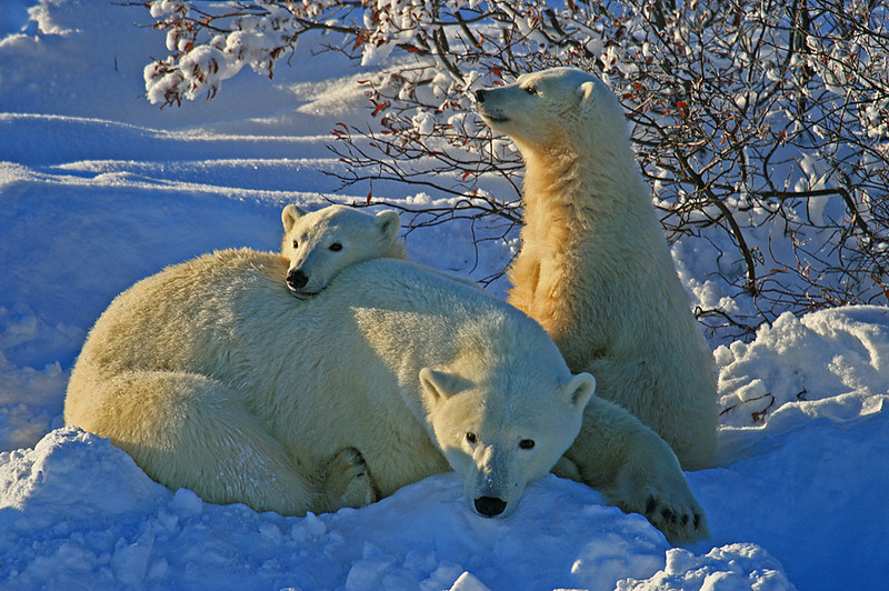 Mom & double trouble polar bears - Polar Bears & Northern Lights - Hudson  Bay, Canada - Mark Rasmussen - November 2008