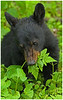 "Black bear cub ""grazing"" - Great Smoky Mountains National Park - Mark Rasmussen - April 2010"