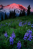 Earliest light lupine and Mt Rainier - Mt Rainier National Park, Washington - Mark Rasmussen