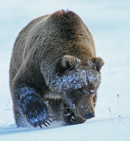 Snow Grizzly - Denali National Park, Alaska - Mark Rasmussen - December 2009